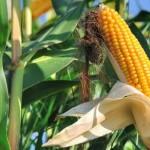 La coltivazione del mais Ogm 1507 verso l'autorizzazione in tutta l'Ue