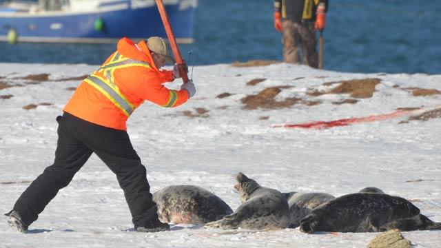 caccia alle foche