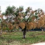 Xylella/ Interrogazione europarlamentare contro l'obbligo d'uso di pesticidi in Puglia