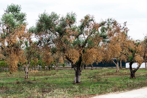 Mappa Xylella Puglia.Xylella Ue Ratifica Estensione Zona Infetta In Puglia