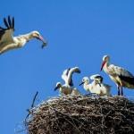 Gli uccelli protetti dall'Ue se la passano meglio degli altri (ma non quando migrano)