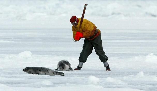 caccia foca