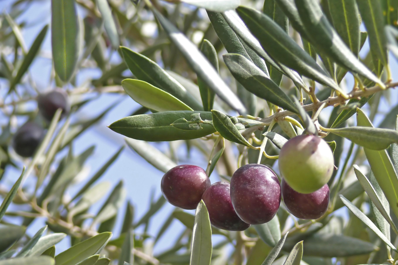 Scoperta cura per xylella ma ue non ferma gli abbattimenti for Vendita piante ulivo