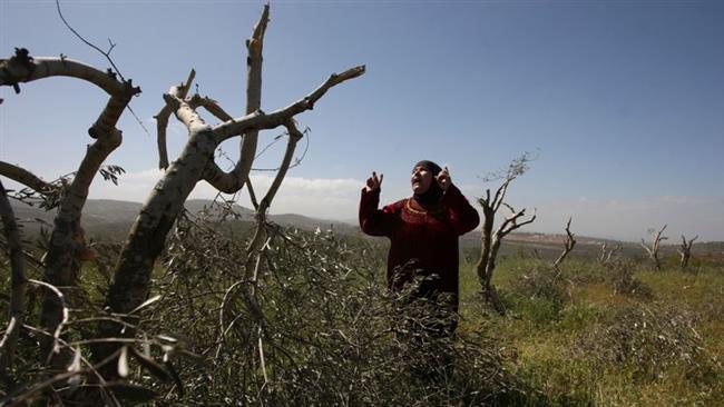 Una donna palestinese si dispera dopo l'eradicazione dei suoi olivi