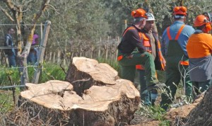 First Xylella-hit tree chopped down