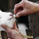 Resistenza antimicrobica, l'Eurocamera boccia la proposta dei Verdi di limitare l'uso di alcuni antibiotici sugli animali