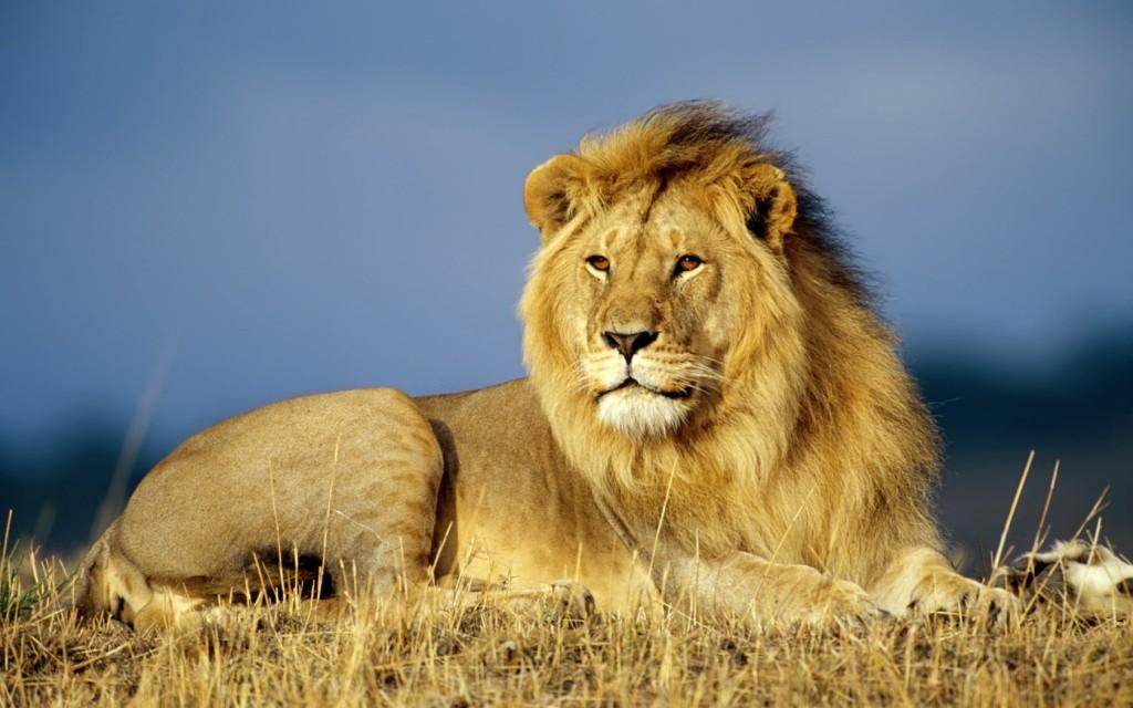 """Un esemplare di leone africano. La specie è a rischio d'estinzione e diverse associazioni animaliste europee hanno chiesto che la sua uccisione """"a scopo commerciale"""" diventi illegale"""