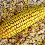 OGM, Parlamento Ue si oppone all'autorizzazione di due varianti di mais e cotone