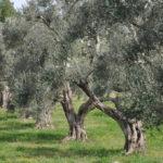 Tornano gli ulivi in Puglia dopo la crisi Xylella: la Commissione Ue autorizza i reimpianti