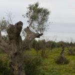 Cosa (non) ha deciso l'Ue su Xylella e ulivi in Puglia