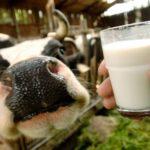 Quote latte, l'italia rischia sanzioni salate. Deve far pagare le multe agli allevatori