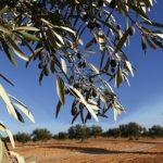 Xylella, ultimatum dell'Ue: l'Italia sradichi ulivi infetti o sarà deferita alla Corte