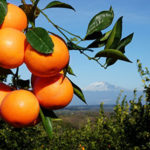 Aranciate più vere: da oggi l'Italia innalza al 20% il contenuto di arance obbligatorio