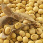 OGM, l'Eurocamera si oppone all'autorizzazione di quattro varianti di soia e mais