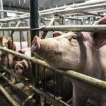 Stop alle gabbie negli allevamenti in Europa, la Commissione promette una legge entro il 2023
