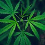 Tribunale UE: un logo con la foglia marijuana è illegale, minaccia l'ordine pubblico