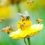 Biodiversità, le misure messe in campo dall'UE per proteggere api e impollinatori sono insufficienti