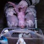 Castrazione senza anestesia, la tortura sui suini non si ferma. Ma la Germania spinge il Consiglio dell'UE sulla strada del vaccino