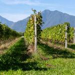 Cooperative vitivinicole: alleanza tra Italia, Spagna e Francia per un piano di ripresa per il vino europeo