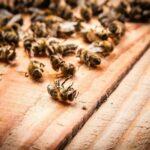 Pesticidi, Corte UE conferma il divieto di tre neonicotinoidi nocivi per le api