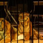 Un milione di firme raccolte per vietare gli animali selvatici nei circhi