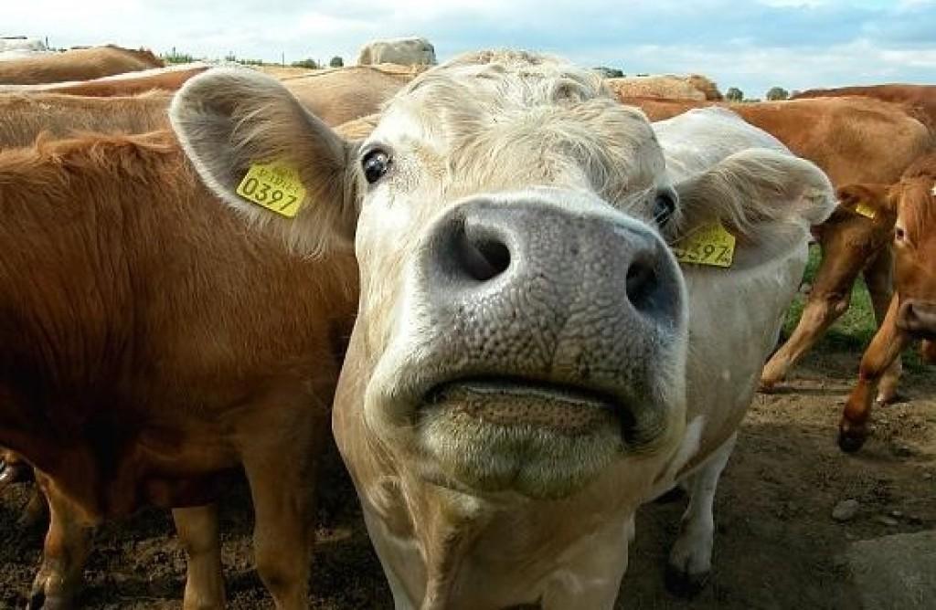 mucca mangimi