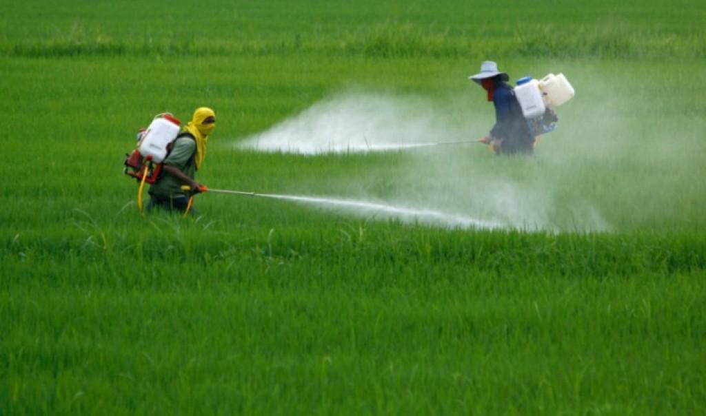 mais ogm pesticida glifosato