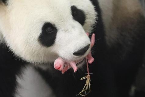 Panda neonato