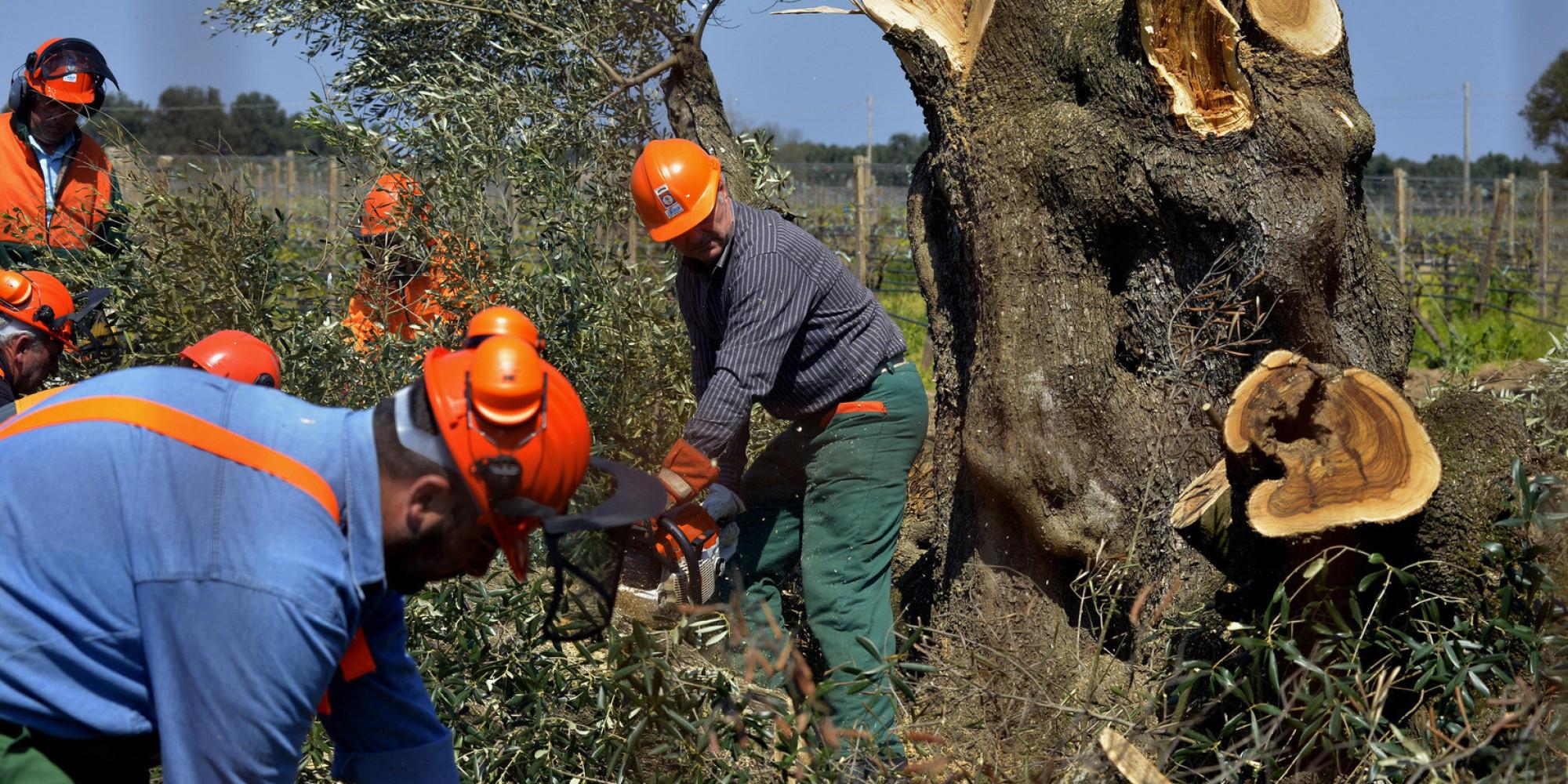 Xylella, Corte Ue: giusto rimuovere olivi potenzialmente infetti